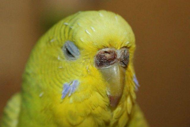 Некроз у волнистого попугая