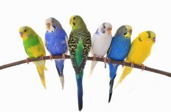 Окрасы волнистый попугаев