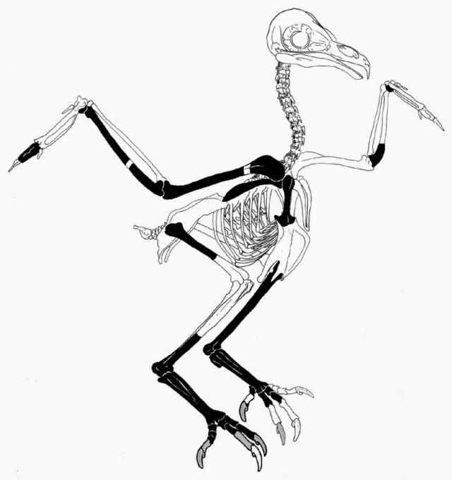 Сова - скелет
