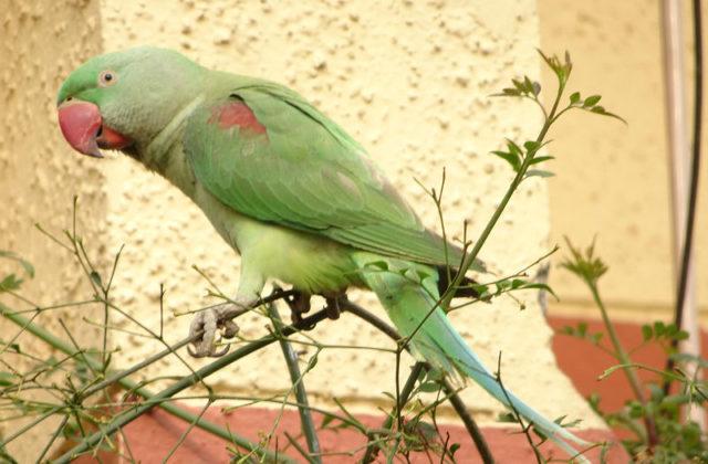 Попугай александрийский (1)