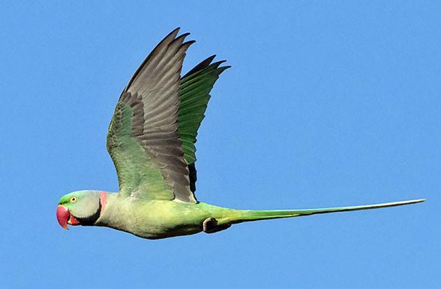 Попугай александрийский (2)