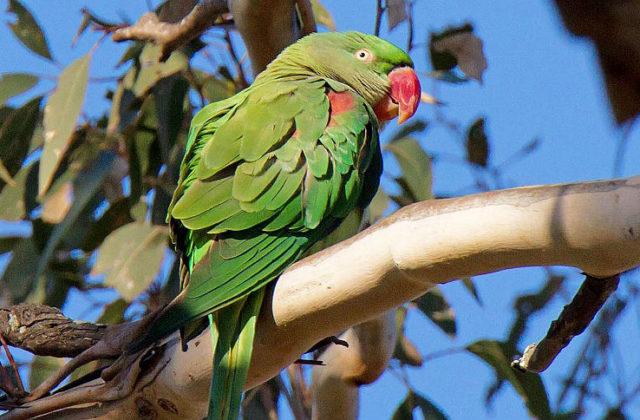 Попугай александрийский (3)