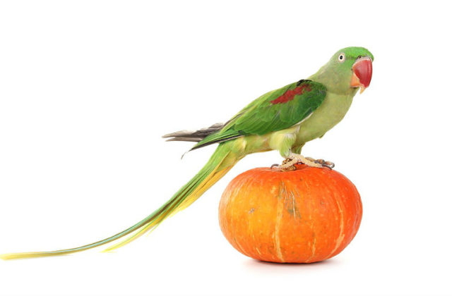 Попугай александрийский (4)