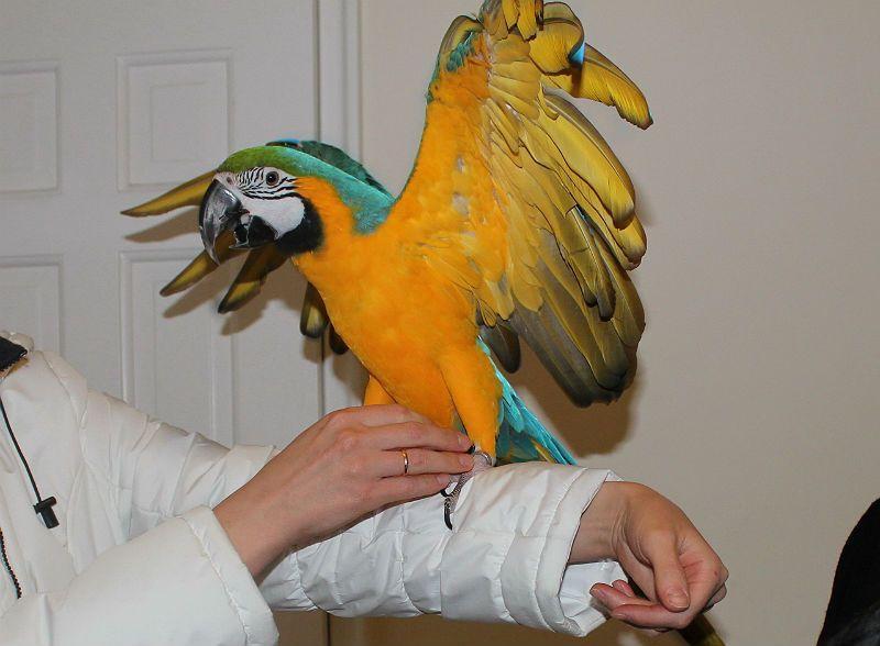 Попугай ара дрессировка