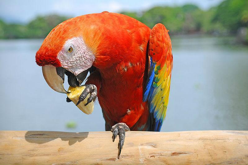 Кормление попугая ара