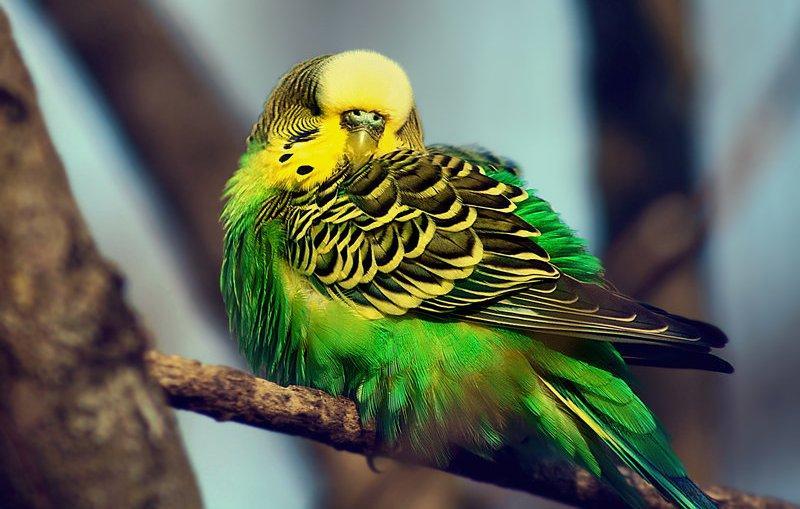 Попугай чешется - главное фото