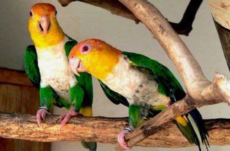 Попугай каик - главное фото