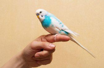 Приручение волнистого попугая - главное фото