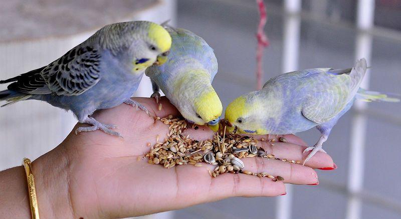 Приручение волнистого попугая - лакомство