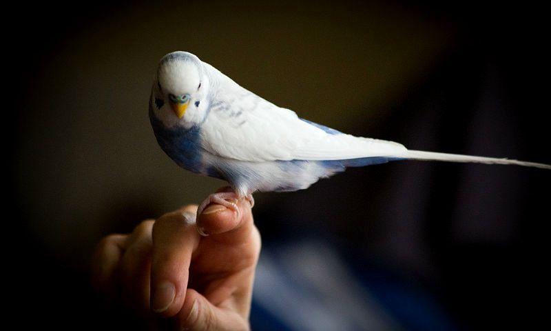Приручение волнистого попугайчика