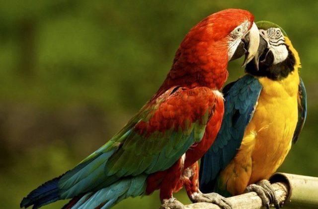 Птица попугай ара (2)