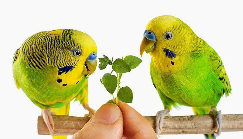 Рацион волнистого попугая (1)