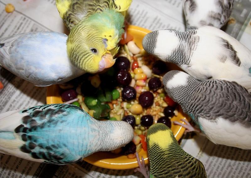 Рацион волнистого попугая - ягоды