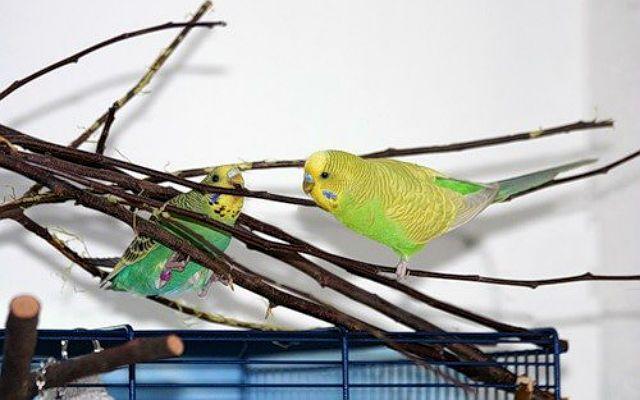 Рацион волнистого попугая - веточный корм