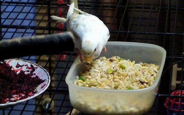 Рацион волнистого попугая - каши