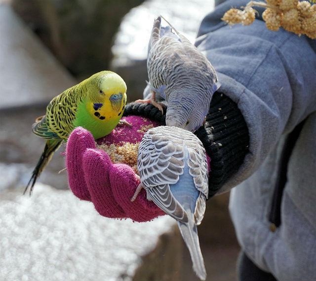 Кормление волнистых попугайиков