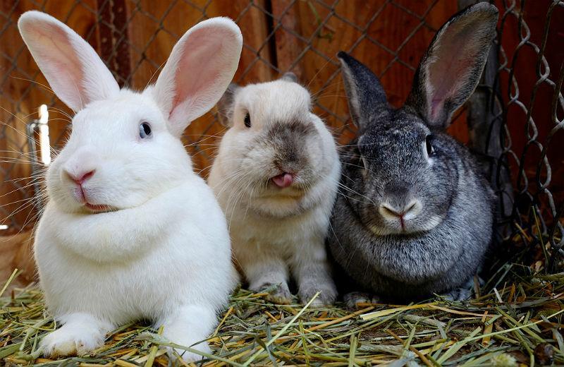 Содержание кроликов в клетке