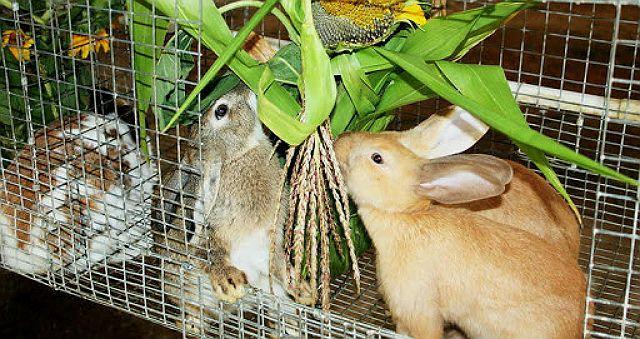 Разведение кроликов в домашних условиях - рацион
