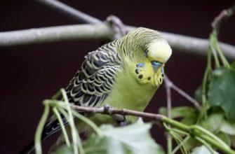 Режим сна волнистого попугая
