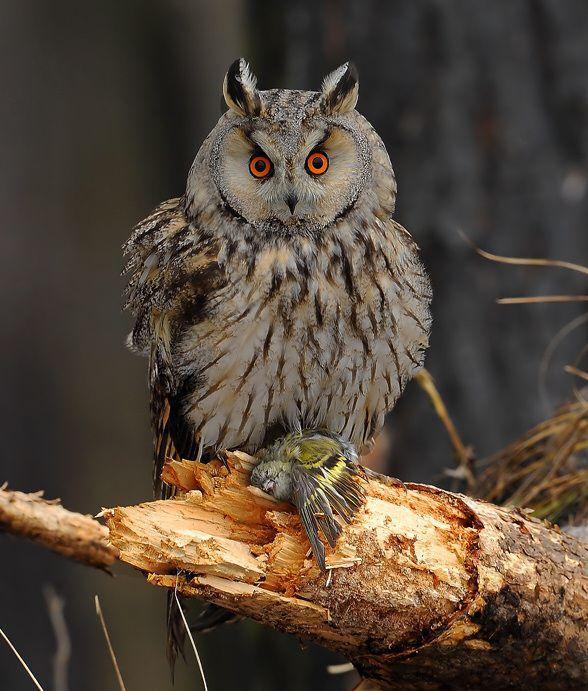 Ушастая сова-2