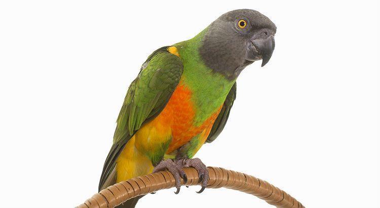 Сенегальский попугай - главное фото