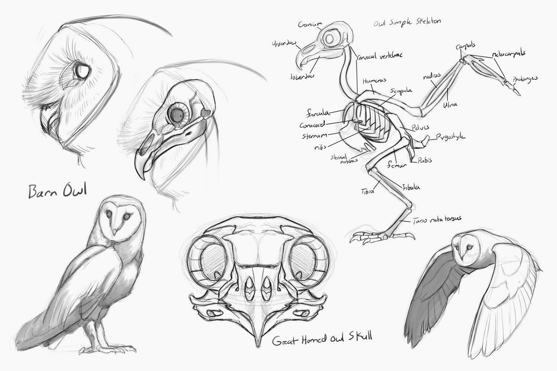 Скелет совы - строение