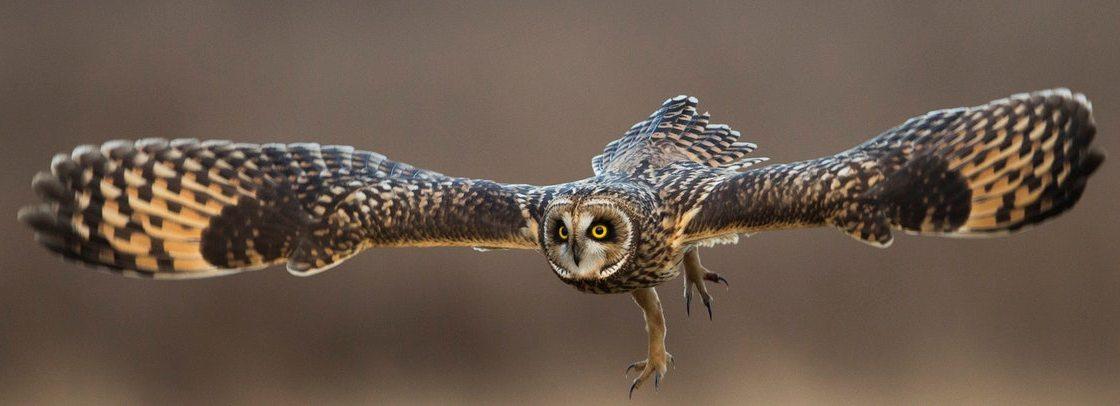 Скелет совы - крылья