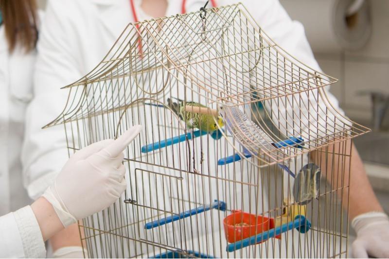 Профилактика блох у попугая