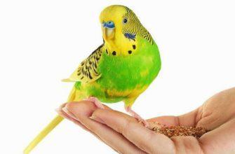 Восковица у волнистых попугаев - главное фото