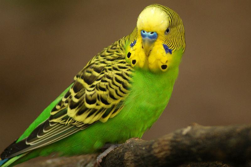 Здоровая восковица у волнистого попугая