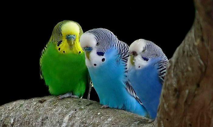 Восковица у волнистых попугайчиков