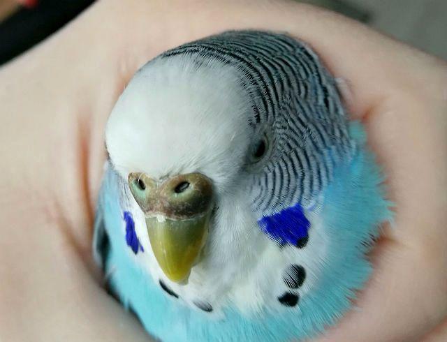 Коричневая восковица у волнистого попугая