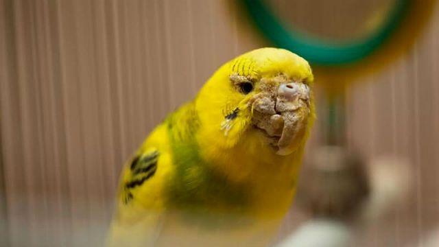 Кнемидокоптоз у волнистого попугая