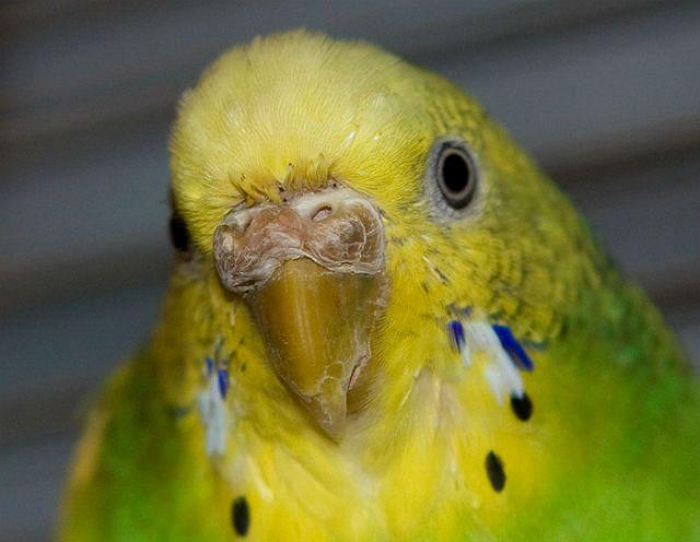 Гиперкератоз у волнистого попугая