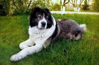 Воспитание кавказской овчарки - главное фото
