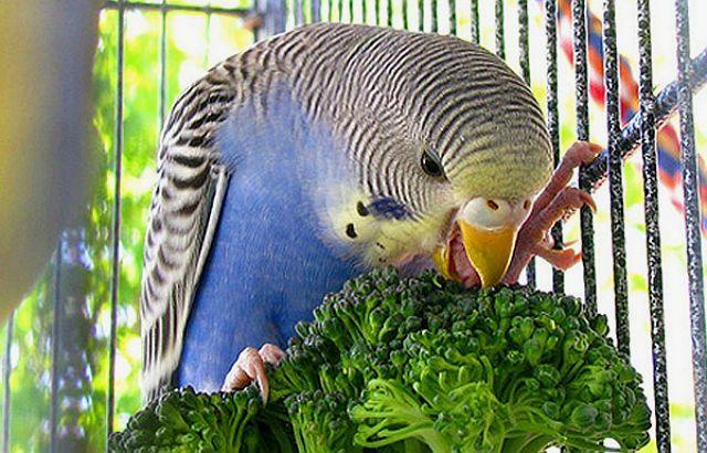 Зелень для волнистого попугая