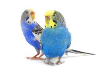 Беременность волнистого попугая