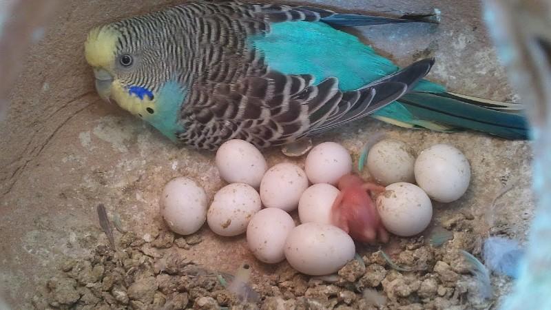 Беременность волнистого попугая - кладка яиц
