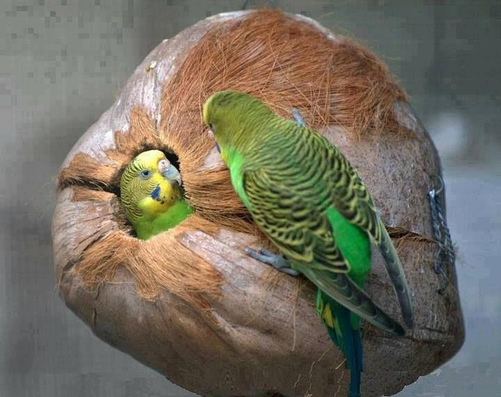 Беременность волнистого попугая - гнездование