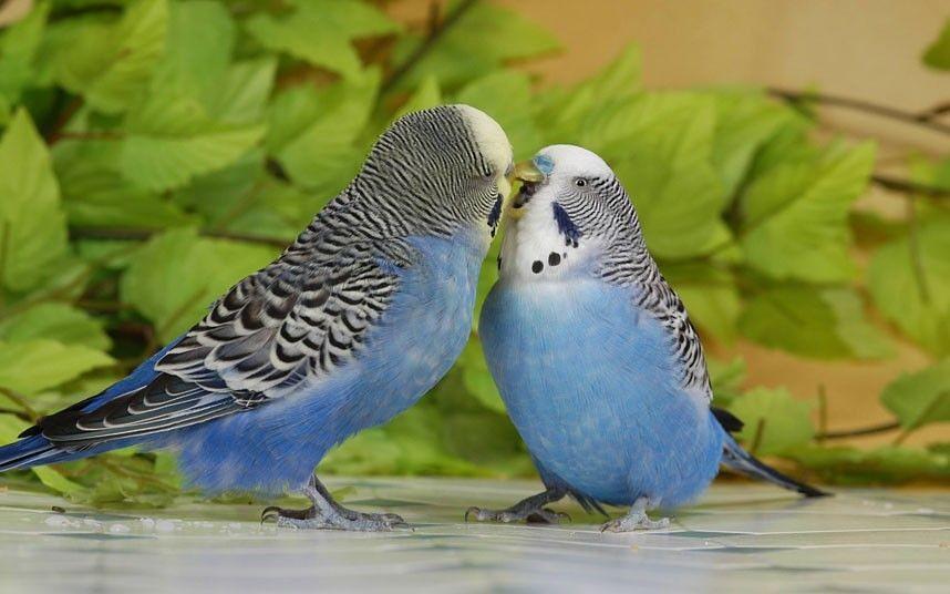 Беременность волнистого попугая - подбор пары