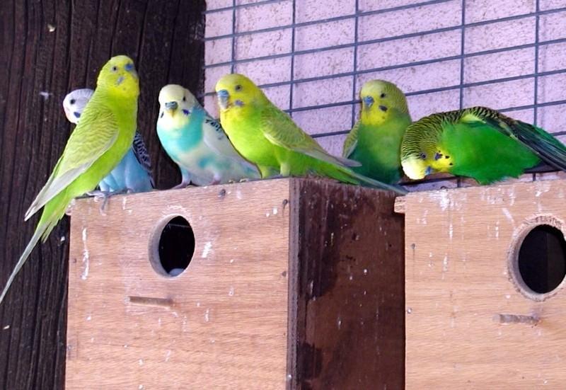 Беременность волнистого попугая - появление птенцов