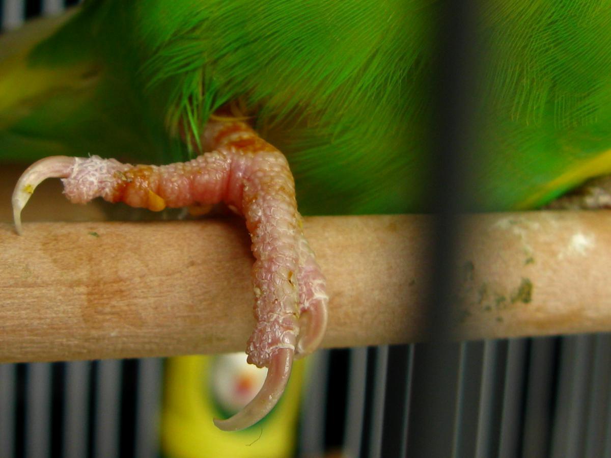 Болезни лап у попугаев - клещи