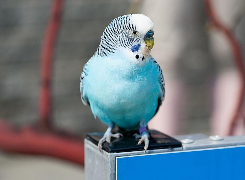 Болезни лап у попугаев (4)