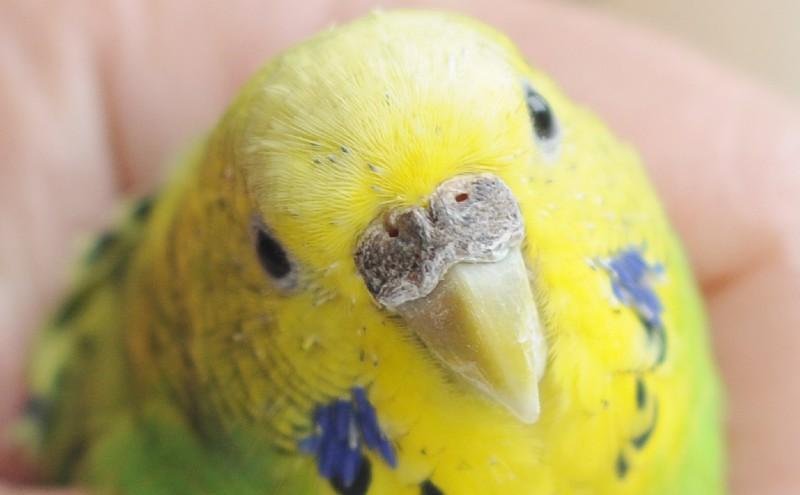 Как избавить волнистого попугая от клещей