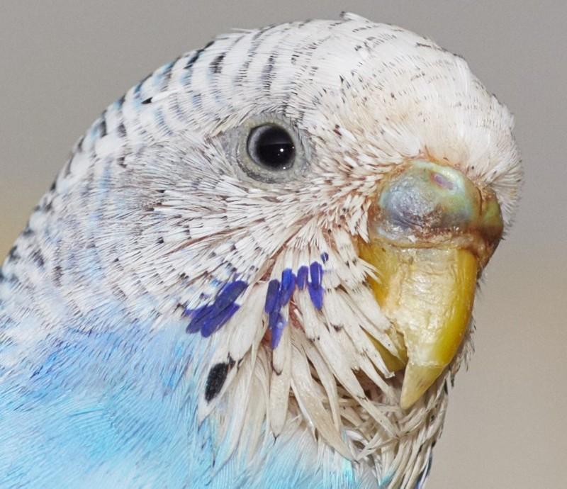 Перьевой клещ у волнистого попугая