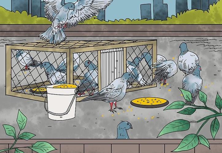 Как правильно ловить голубей