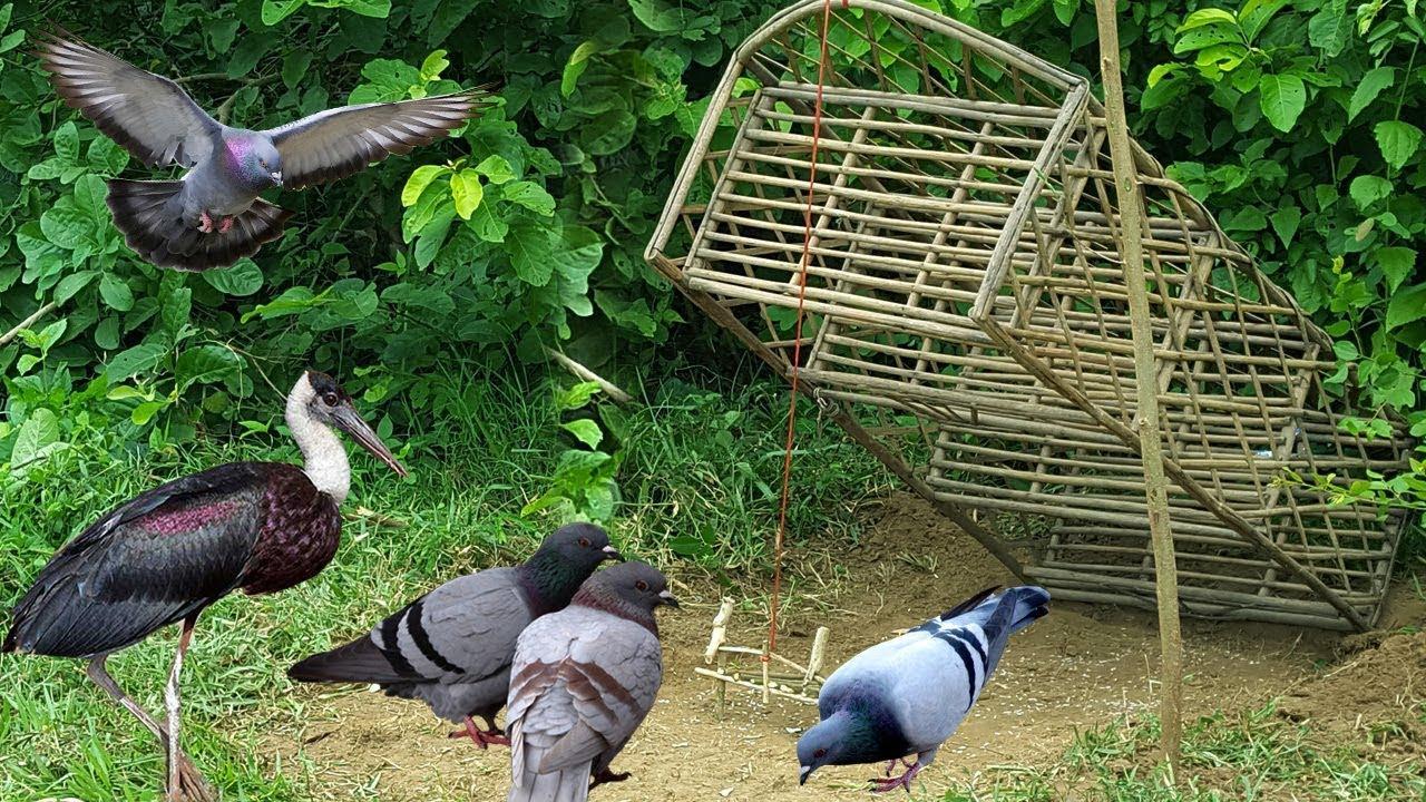 Способы ловли голубей