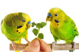 Какая зелень полезна волнистым попугаям