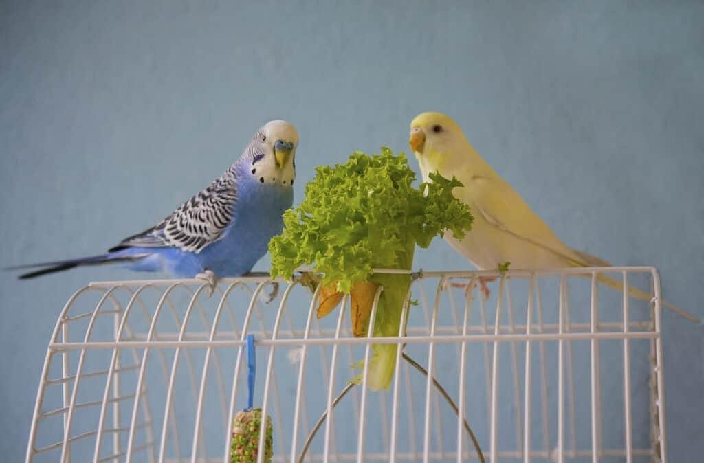 Правила кормления попугаев зеленью