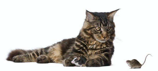 Maine Coon and mice, 7 months old, sitting in front of white background